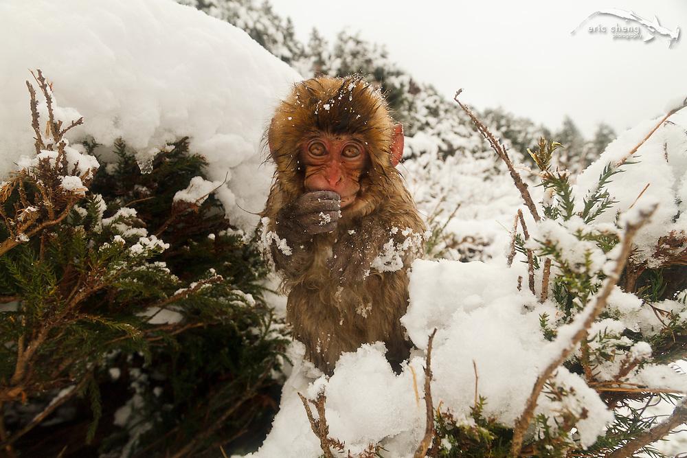 A baby snow monkey feeds in a tree (Japanese macaque, Macaca fuscata). Jigokudani Yaen-Koen near Shibu Onsen, Japan.