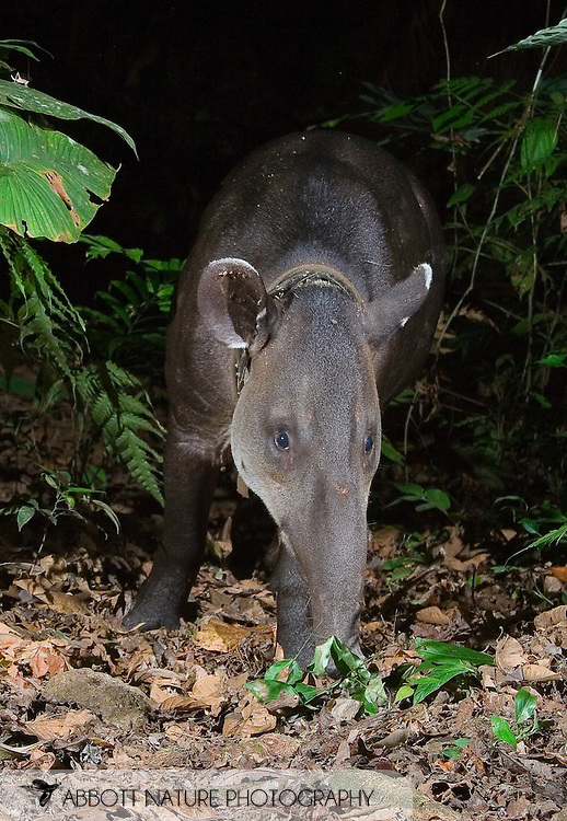 Tapirus bairdii (Tapiridae) (Central American Tapir; Baird's Tapir); Thor (male) caught with infrared triggered camera<br /> COSTA RICA<br /> Corcovado National Park<br /> Sirena Biological Station<br /> 11-Feb-2007<br /> J.C. Abbott &amp; K.K. Bauer