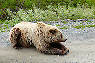 A grizzly bear casually lounges on the roadside in Denali National Park, Alaska.
