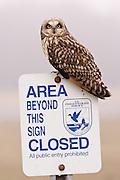 Ridgefield National Wildlife Refuge, Washington, a Short-eared Owl (Asio flammeus)