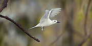 White Tern taking off from branch, Midway Atoll.