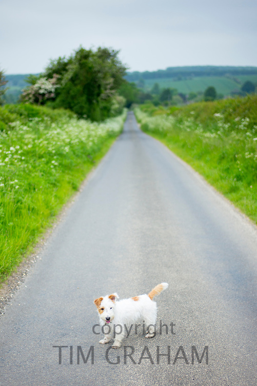 Cute Jack Russell terrier out for a stroll on a country lane in the English countryside, United Kingdom
