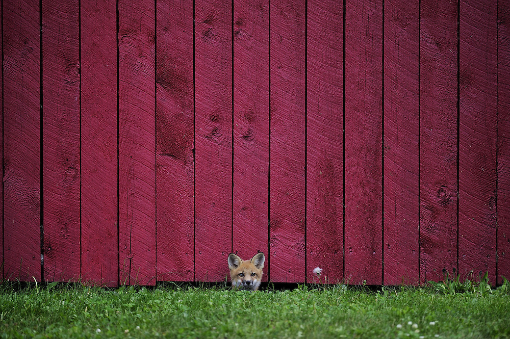 A wild fox pup peering out from under a woodshed wall in Northern Ontario, Canada. This image took 2nd place in the Canada section of the 2016 Sony World Photography National Awards.