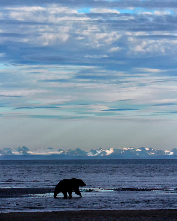 Silhouette of a Coastal Brown Bear (Ursus arctos) walking on the mud flats at the mouth of Silver Salmon Creek, Cook Inlet, Lake Clark National Park and Preserve, Alaska