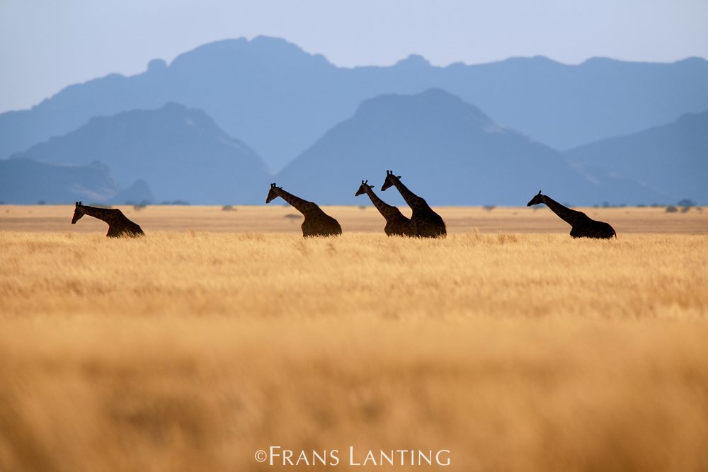 Giraffes crossing grassy plains, Namib-Naukluft National Park, Namibia