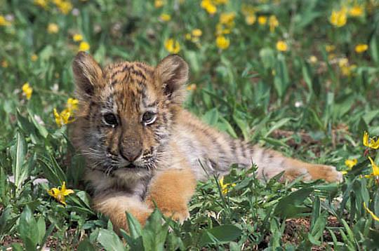 Bengal Tiger, (Panthera tigris) Cub. Captive Animal.