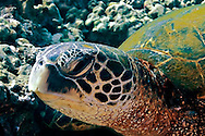 Close up, Green Sea Turtle Maui, Chelonia mydas, Linnaeus 1758, Maui Hawaii