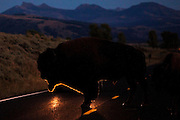 Buffalo crosses the road in the Lamar Valley in Yellowstone National Park.