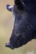 Wild Boar (ferox aper) semi wild, head shot