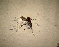 The only good mosquito is a dead mosquito. Image taken with a Nikon 1 V3 camera and 70-300 mm VR lens (ISO 220, 300 mm, f/5.6, 1/60 sec).