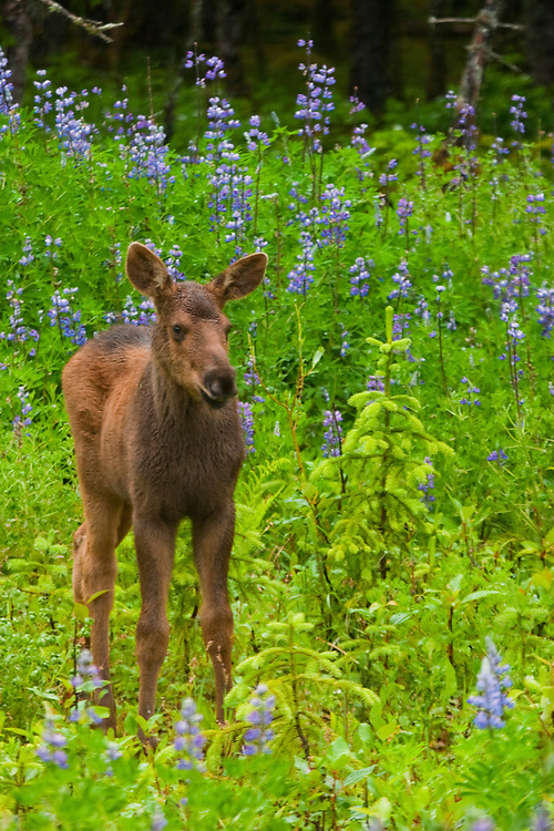A moose calf looks out from the green and purple of a lupine meadow.