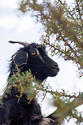 Goats graze on an argan tree amid arid terrain near Aoulouz, Taliouine & Taroudant Province, Souss Massa Draa region of Southern Morocco, 2016-05-21. <br />