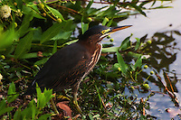 Green heron at the water's edge on Lake Ella in Tallahassee, Fl.