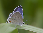 Eastern Tailed Blue butterfly; Cupido comyntas; PA, Philadelphia, Lardner's Point Park