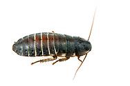 Mahogany Hissing Roach (Gromphadorhina oblongonota) nymph<br /> United States: Alabama: Tuscaloosa Co.<br /> Tulip Tree Springs off Echola Rd.; Elrod<br /> 8-Jun-2016<br /> J.C. Abbott #2828 & K.K. Abbott