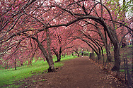 Cherry Blossoms along the Reservoir in Central Park, New York City