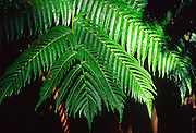 Ama'u fern, Island of Hawaii<br />