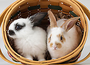 Young Rex rabbits in easter basket