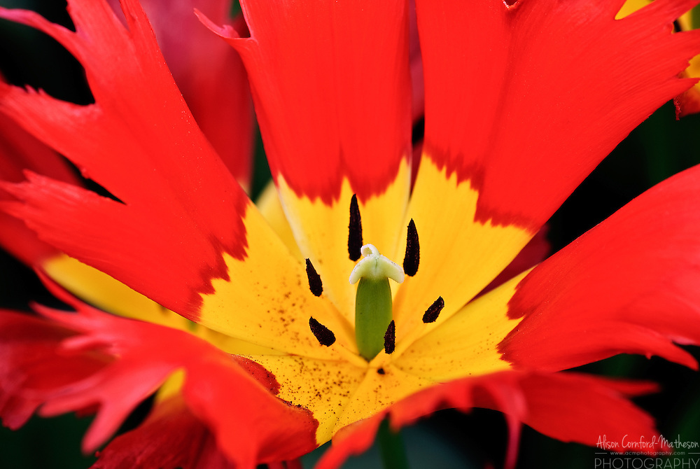 Darwin Hybrid Tulip 'Leo' Keukenhof Spring Tulip Gardens, Lisse, The Netherlands.