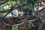 A bald eagle (Haliaeetus leucocephalus) breaks off a morsel of food and feeds it to one of its eaglets on its nest in Kirkland, Washington. The young eaglet is approximately five weeks old in this image.