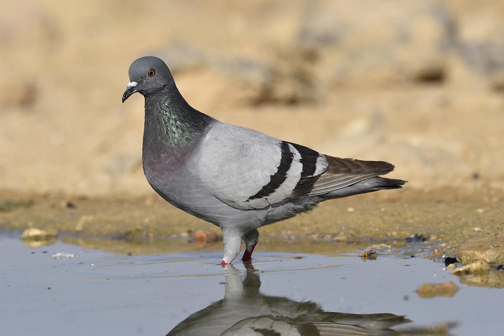Rock Dove - Columba livia
