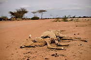 Many families interviewed by Internews said they fled to Dadaab after all of their livestock died because of the drought in Somalia. The dirt road from Garissa to Dadaab is littered with cow and goat skeletons.