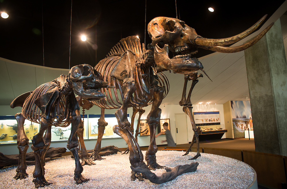 American mastodons on display at The Page Museum, located at the site of the La Brea Tar Pits in Los Angeles, California  in Hancock Park.