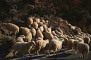 Big flock of sheeps walking along the road