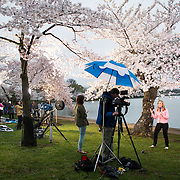 A reporter broadcasting from the banks of the Tidal Basin under the famous cherry blossoms in full bloom.