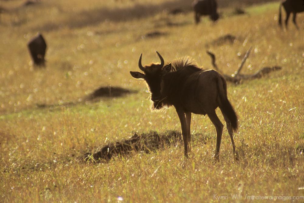 Africa, Kenya, Maasai Mara. A young wildebeest backlit by the African sun in the Maasai Mara.