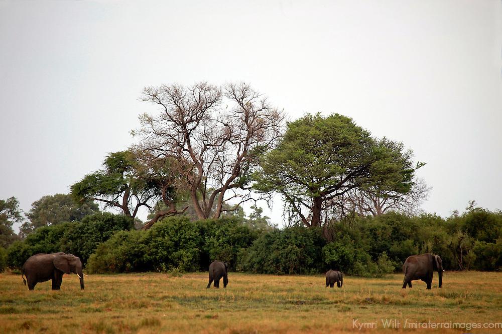 Africa, Botswana, Savute. Elephants of Chobe National Park.