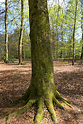 Tree trunk of Beech tree Fagus sylvatica, in woodland scene at Bruern Wood in The Cotswolds, Oxfordshire, UK