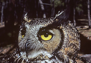 Portrait of great-horned owl showing large yellow eyes, eye ring, facial feathers, feather tufts resembling horns, and plumage pattern that blends with forest. © 1983 David A. Ponton