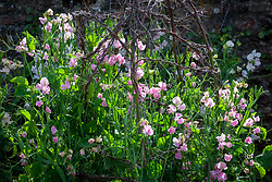 Lathyrus odoratus 'Gwendoline'. Sweet peas growing up a birch support in the trials bed at Parham House