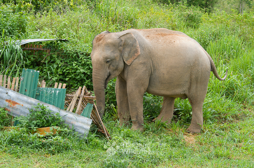 Wild female asian elephant, Elephas maximus, raiding a local's herb garden for food. The reduction of habitat is causing for more incidents between anaimals and man in Thailand.