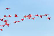 A group of Scarlet Ibis (Eudocimus ruber) in flight against blue sky. Trinidad