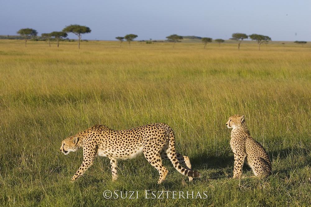 Cheetah <br /> Acinonyx jubatus<br /> Mother and 7-9 month old cub<br /> Masai Mara Conservancy, Kenya