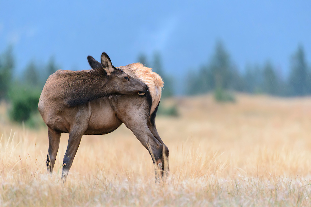 A cow elk takes a moment to scratch her hind quarter, Northern Rockies