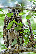 Barred Owl Fledgeling (Strix varia) on branch peering through leaves.  Photograph for sale as Fine Art Print, Canvas Gallery Wrap, Licensed Use