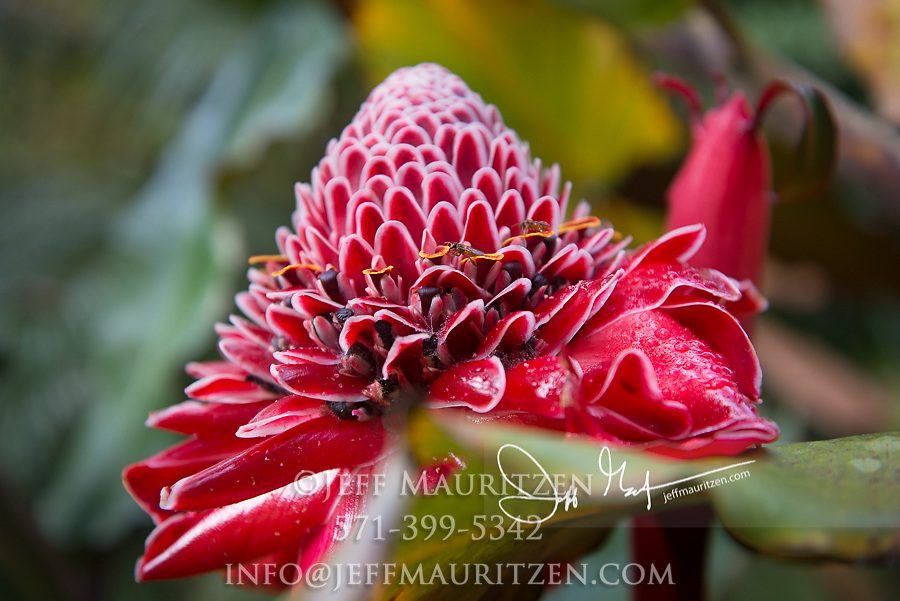 Torch Ginger in a garden in Mindo Ecuador.