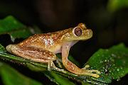 Mashpi Torrenteer (Hyloscirtus mashpi)<br /> Mashpi Rainforest Biodiversity Reserve<br /> Pichincha<br /> Ecuador<br /> South America