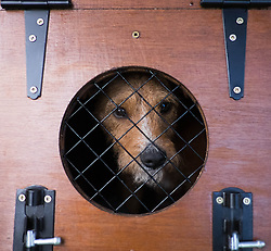 © Licensed to London News Pictures.29/08/15<br /> Bilsdale, UK. <br /> <br /> A terrier looks out from its travelling cage after arriving with its owner to take part in the 105th Bilsdale Country Show in North Yorkshire.<br /> <br /> Photo credit : Ian Forsyth/LNP