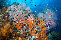 Hundreds of Damsels feed in the current amongst vivid Soft Corals<br /> <br /> Shot in Indonesia