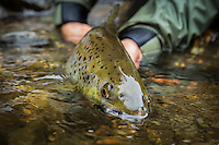 a nice fly caught hen landlocked atlantic salmon from the Clyde River in the Northeast Kingdom of Vermont