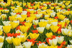 mixed colors Tulips, Tulipa, diverse kleuren tulp, tulpen, Holland, Netherlands