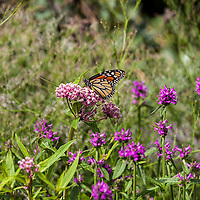 A Monarch Butterfly on Swamp Milkweed (Danaus plexippus on Asclepias incarnata)