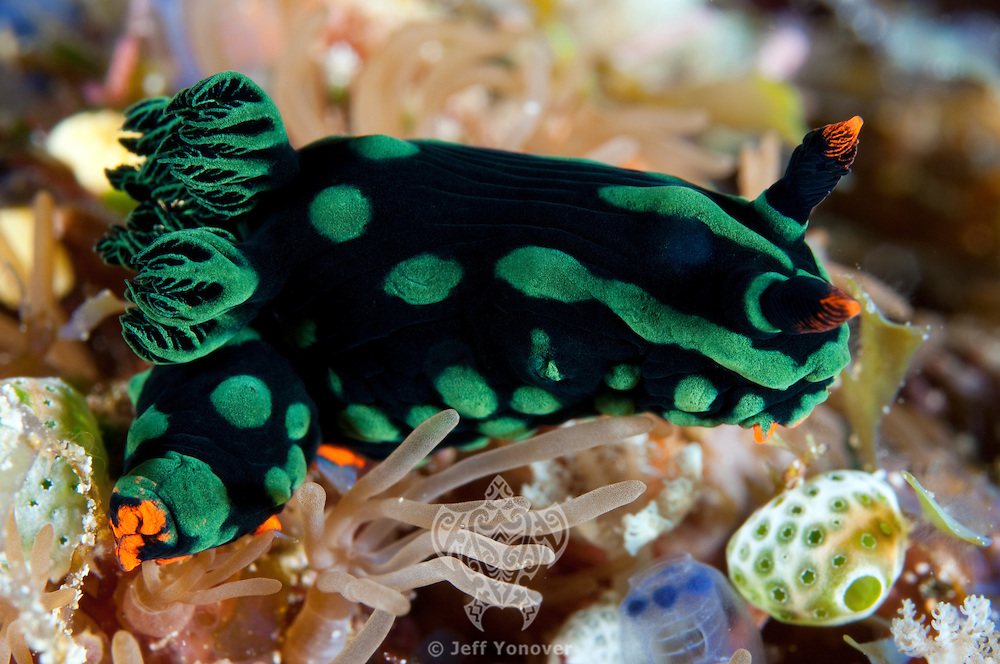 Nembrotha Nudibranch.Shot in West Papua Province, Indonesia