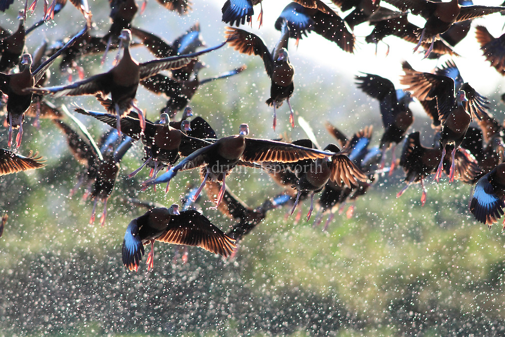 Black-bellied Whistling Ducks (Dendrocygna autumnalis) on wetlands near River Tempisque, Guanacaste, Costa Rica. <br />