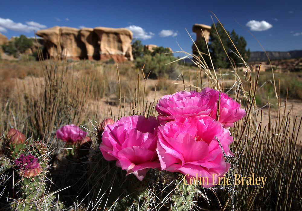 Blue skies and a blooming cactus flower are a frequent sight during the spring at the BLM land known as Devils Garden in southern Utah. Colin Braley