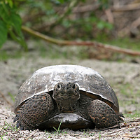 Gopher Tortoise from front